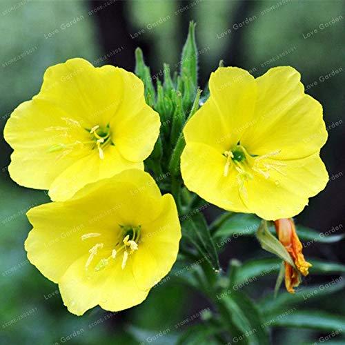 Bloom Green Co. 100 Pz Oenothera biennis Bonsai Can Estrazione di Olio Essenziale aromatico enotera pianta dei Bonsai Facile Crescere Bonsai: 1