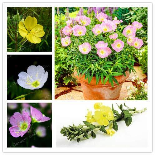 Bloom Green Co. Oenothera biennis Bonsai, 100Pcs enotera Can Estrazione di Olio Essenziale aromatico della pianta dei Bonsai, Facile Crescere Bonsai: Mix